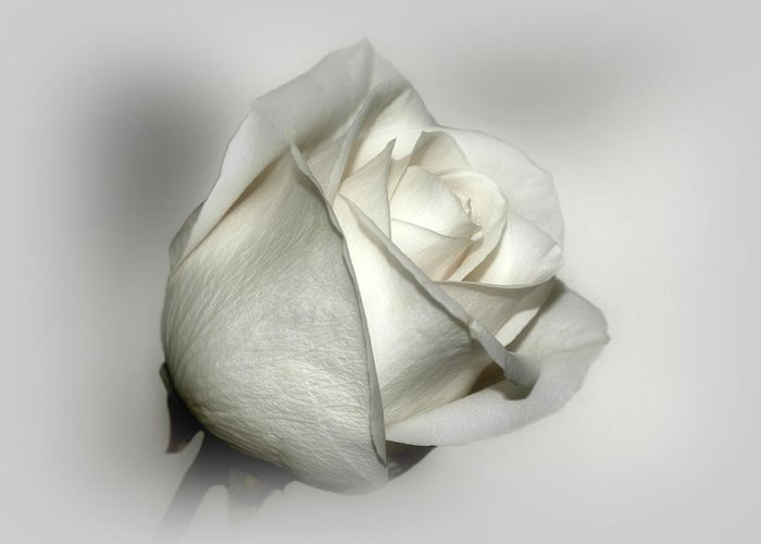 Flowers Greeting Card featuring the photograph White Rose by Sandy Keeton