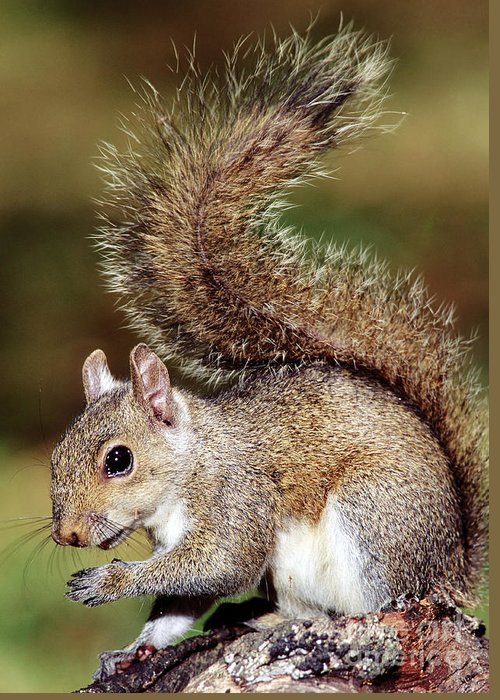 Eastern Grey Squirrel Greeting Card featuring the photograph Eastern Gray Squirrel by Millard H. Sharp