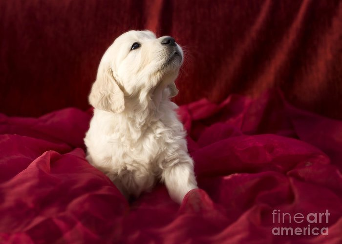 Dog Greeting Card featuring the photograph Golden Retriever Puppy by Angel Tarantella