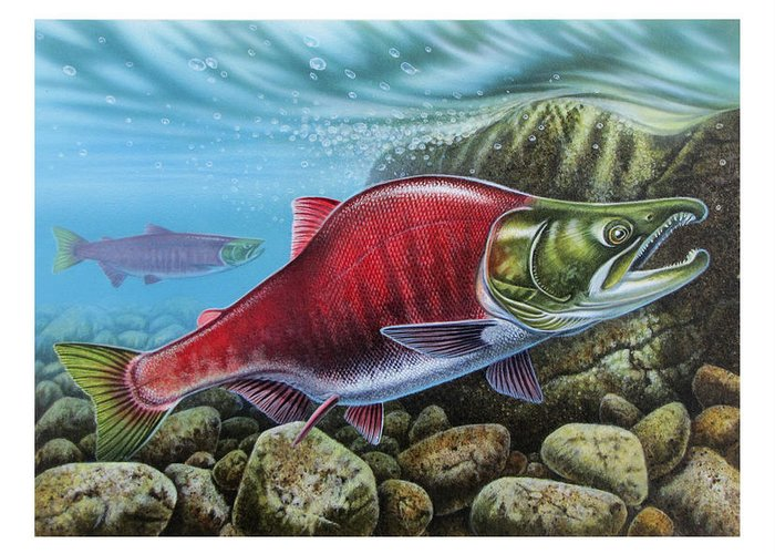 Jon Q Wright Greeting Card featuring the painting Sockeye Salmon by JQ Licensing
