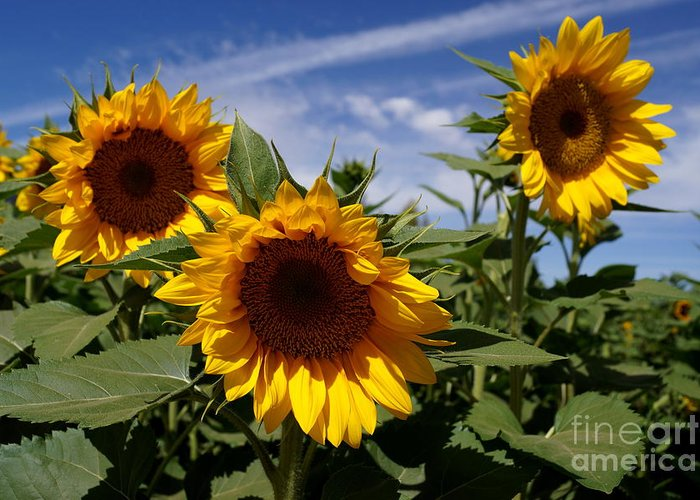 Agriculture Greeting Card featuring the photograph 3 Sunflowers by Kerri Mortenson