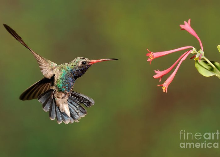 Birds Greeting Card featuring the photograph Broad Billed Hummingbird by Scott Linstead