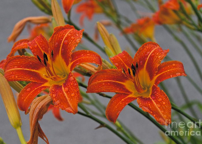 Day Lilly Greeting Card featuring the photograph Day Lilly by William Norton