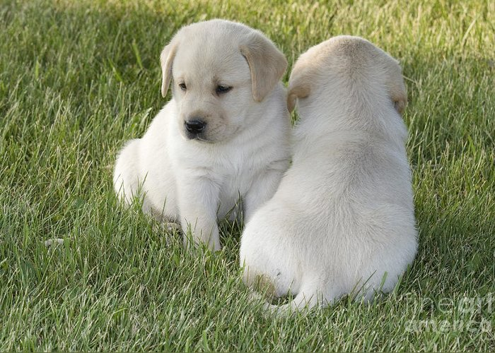 Animal Greeting Card featuring the photograph Yellow Labrador Puppy by Linda Freshwaters Arndt