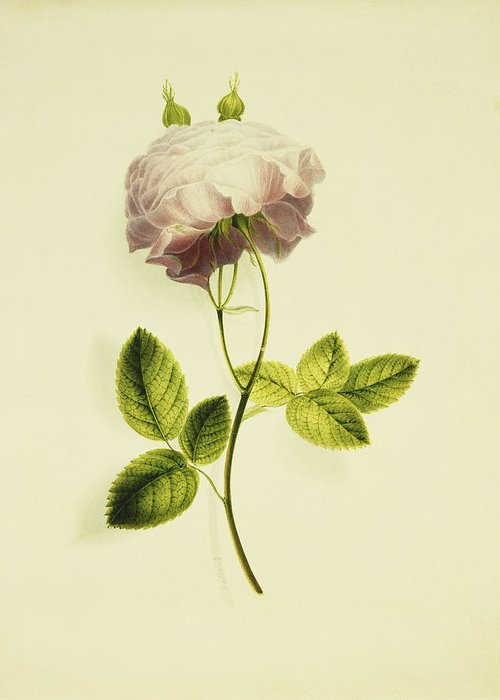 Biology Greeting Card featuring the painting A Pink Rose by James Holland