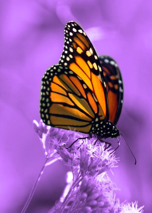 Monarch Butterfly Greeting Card featuring the photograph A Touch Of Summer by Cathy Beharriell