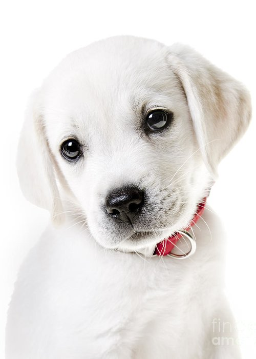 Puppy Greeting Card featuring the photograph Adorable Yellow Lab Puppy by Diane Diederich