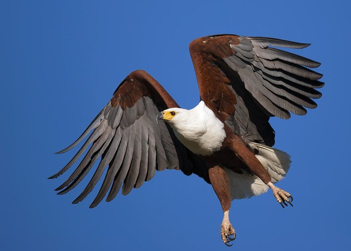 Eagle Greeting Card featuring the photograph African Fish Eagle by Johan Swanepoel