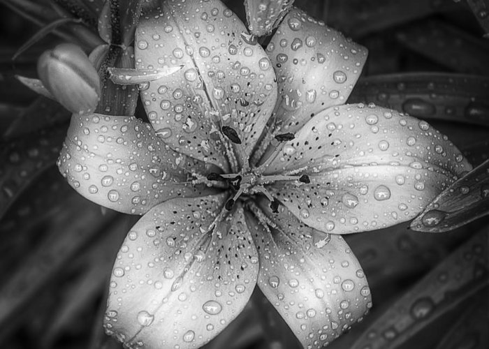 Tiger Lily Greeting Card featuring the photograph After The Rain by Scott Norris