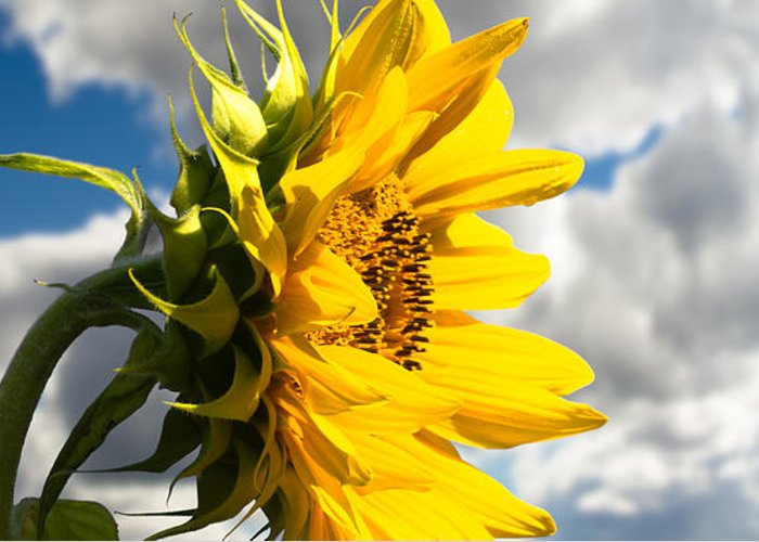 Sunflower Greeting Card featuring the photograph Ah Sunflower by Bob Orsillo