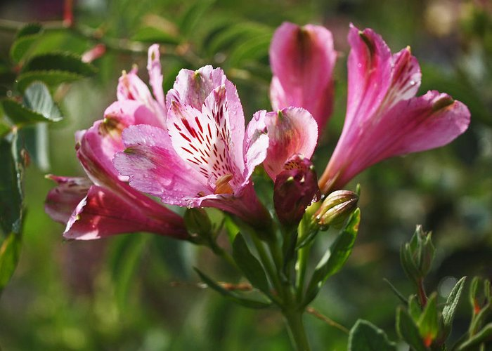 Alstroemeria Greeting Card featuring the photograph Alstroemeria by Rona Black