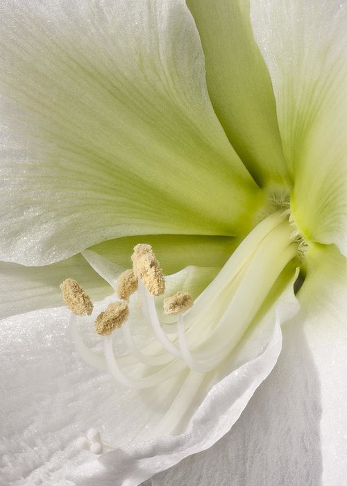 3scape Photos Greeting Card featuring the photograph Amaryllis by Adam Romanowicz