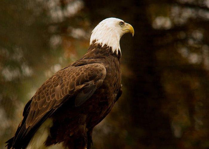 Eagle Greeting Card featuring the photograph American Bald Eagle Awaiting Prey by Douglas Barnett