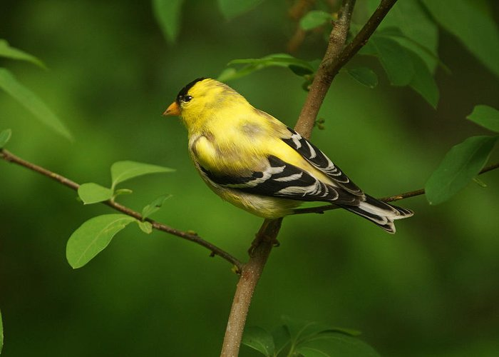 American Gold Finch Greeting Card featuring the photograph American Gold Finch by Sandy Keeton