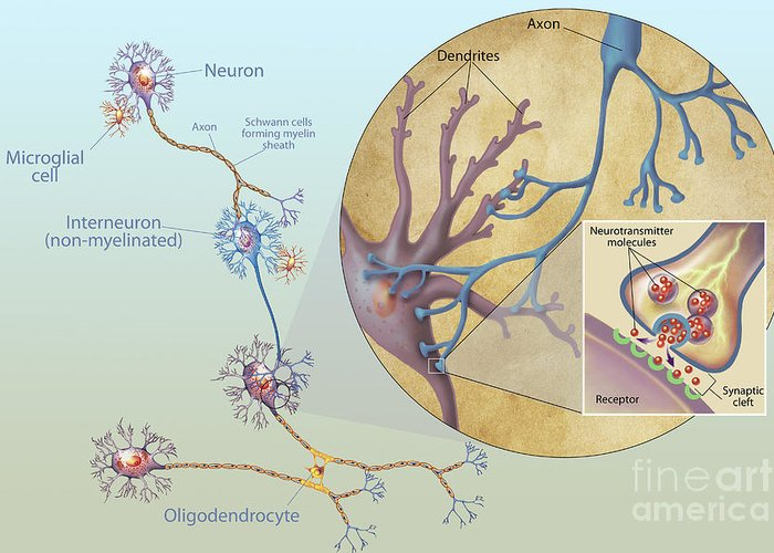 No People Greeting Card featuring the digital art Anatomy Of Neurons by Carlyn Iverson