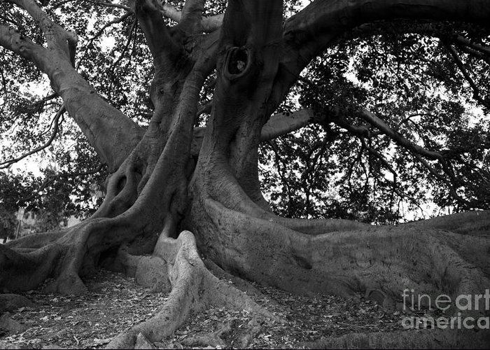 Tree Greeting Card featuring the photograph Ancestor by Amanda Barcon