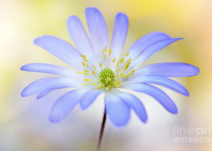 Anemone Greeting Card featuring the photograph Anemone Blanda by Jacky Parker
