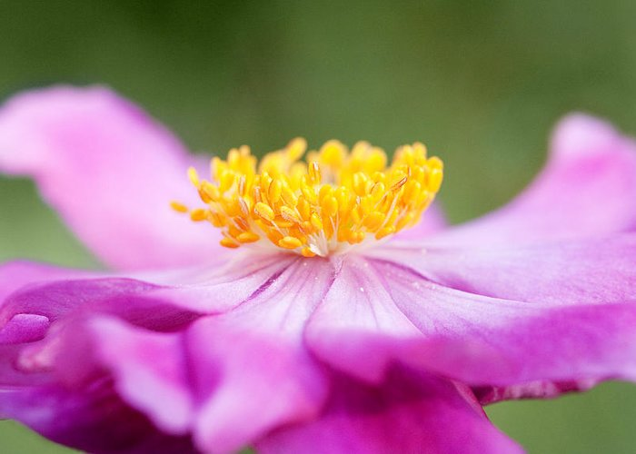 Anemone Greeting Card featuring the photograph Anemone Flower Close Up by Natalie Kinnear