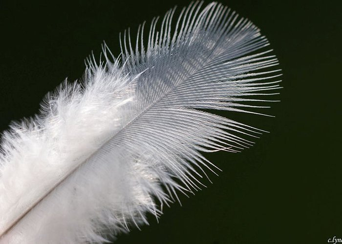 Angel Greeting Card featuring the photograph Angel Feather by Carol Lynch