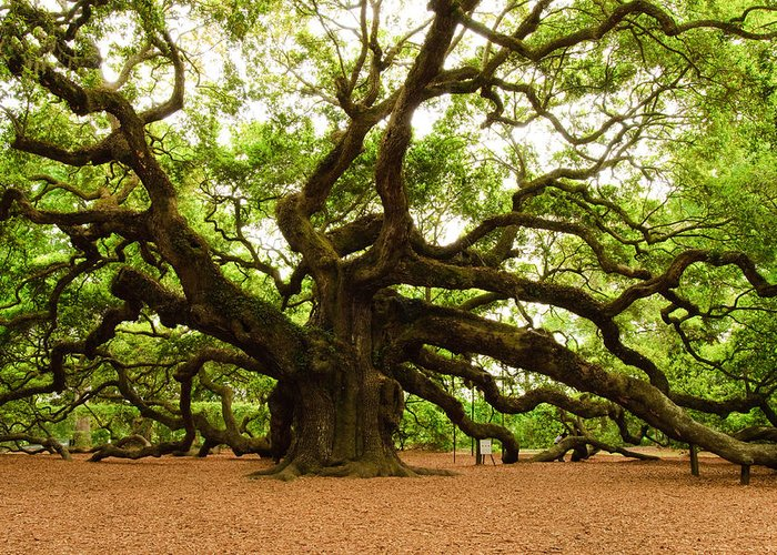 Tree Greeting Card featuring the photograph Angel Oak Tree 2009 by Louis Dallara