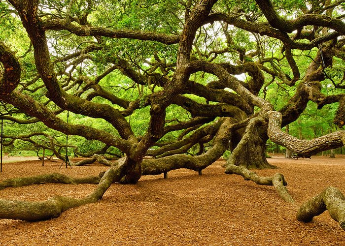 Nature Greeting Card featuring the photograph Angel Oak Tree Branches by Louis Dallara