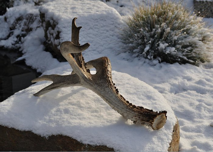 Mule Greeting Card featuring the photograph Antler by Heather L Wright