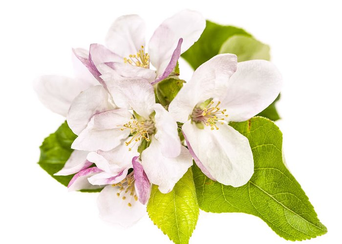 Apple Blossoms Greeting Card featuring the photograph Apple Blossom by Elena Elisseeva
