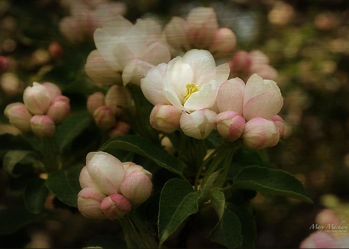 Apple Greeting Card featuring the photograph Apple Blossom Time by Mary Machare