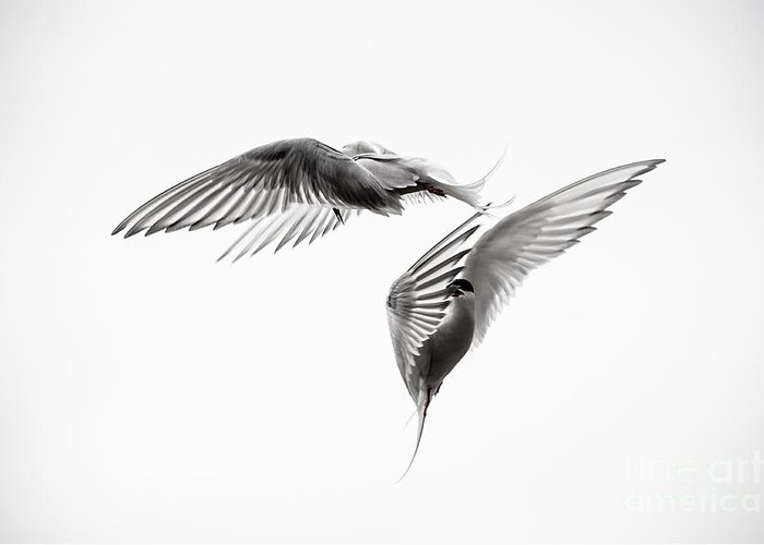 Aerial Greeting Card featuring the photograph Arctic Tern - Sterna Paradisaea - Pas De Deux - Black And White by Ian Monk