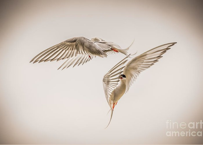 Aerial Greeting Card featuring the photograph Arctic Tern - Sterna Paradisaea - Pas De Deux -hdr by Ian Monk