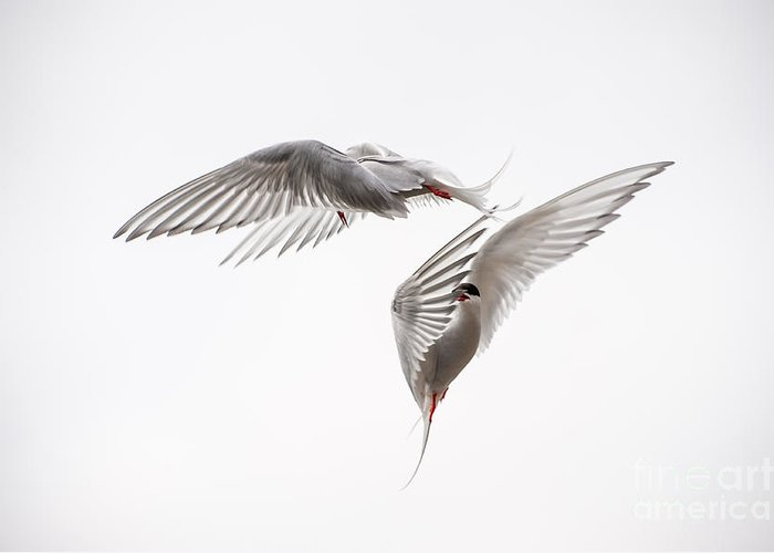 Aerial Greeting Card featuring the photograph Arctic Tern - Sterna Paradisaea - Pas De Deux by Ian Monk