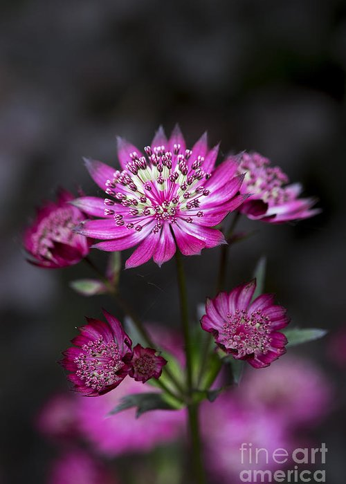 Astrantia Hadspen Blood Greeting Card featuring the photograph Astrantia Hadspen Blood Flower by Tim Gainey