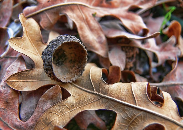 Acorn Greeting Card featuring the photograph Autumn Acorn And Oak Leaves by Jennie Marie Schell