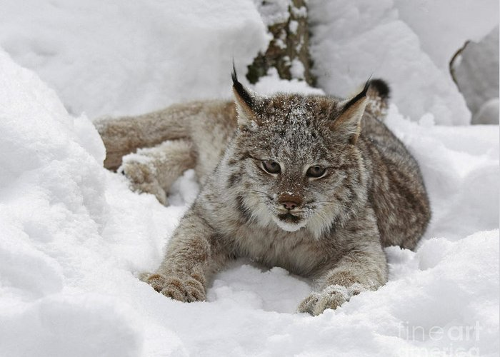 Baby Greeting Card featuring the photograph Baby Lynx In A Winter Snow Storm by Inspired Nature Photography Fine Art Photography