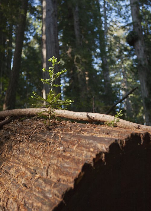 Sequoia Sempervirens (pronounced /sɨˈkɔɪ.ə Sɛmpərˈvaɪrənz/)[1] Is The Sole Living Species Of The Genus Sequoia In The Cypress Family Cupressaceae (formerly Treated In Taxodiaceae). Common Names Include Coast Redwood Greeting Card featuring the photograph Baby Redwood by Joel Moranton