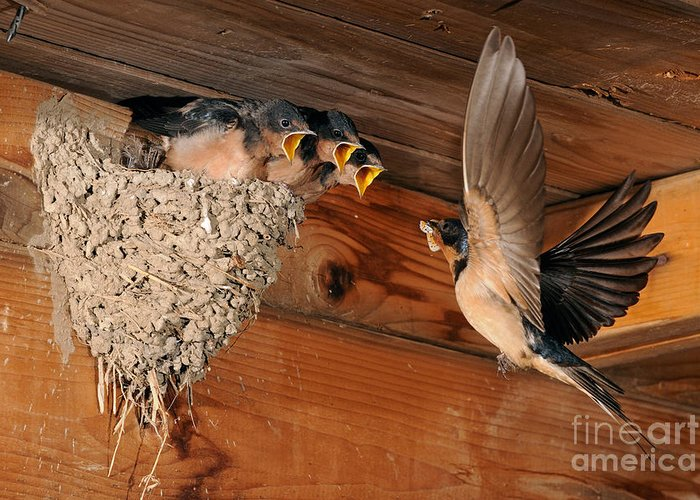 Barn Swallow Greeting Card featuring the photograph Barn Swallow Nest by Scott Linstead