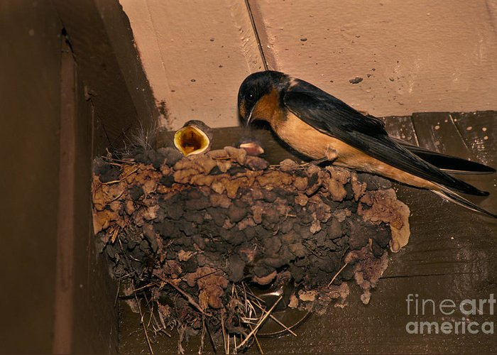 Barn Swallow Greeting Card featuring the photograph Barn Swallow by Ron Sanford