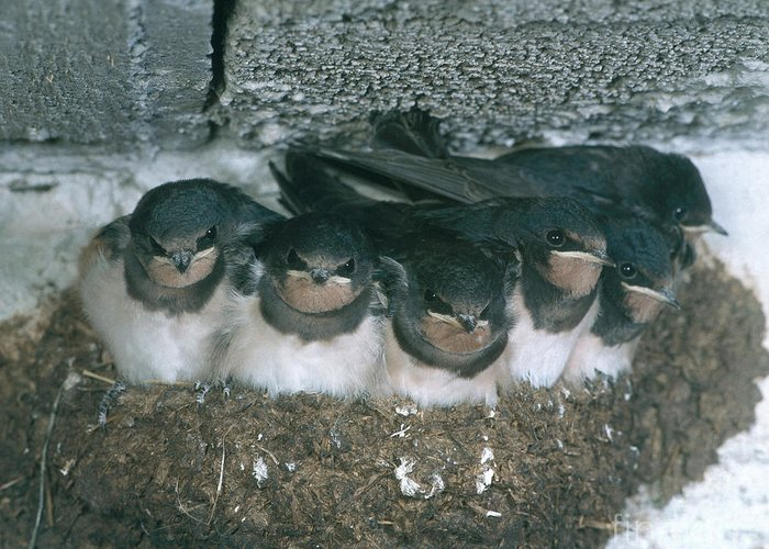 Barn Swallow Greeting Card featuring the photograph Barn Swallows by Hans Reinhard