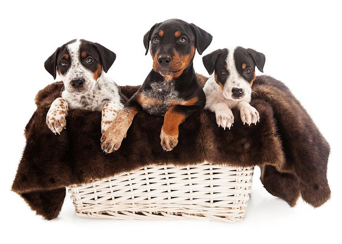 Dog Greeting Card featuring the photograph Basket Of Rottweiler Mixed Breed Puppies by Susan Schmitz