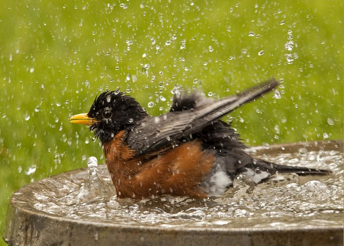Robin Greeting Card featuring the photograph Bathing Robin by Inge Riis McDonald