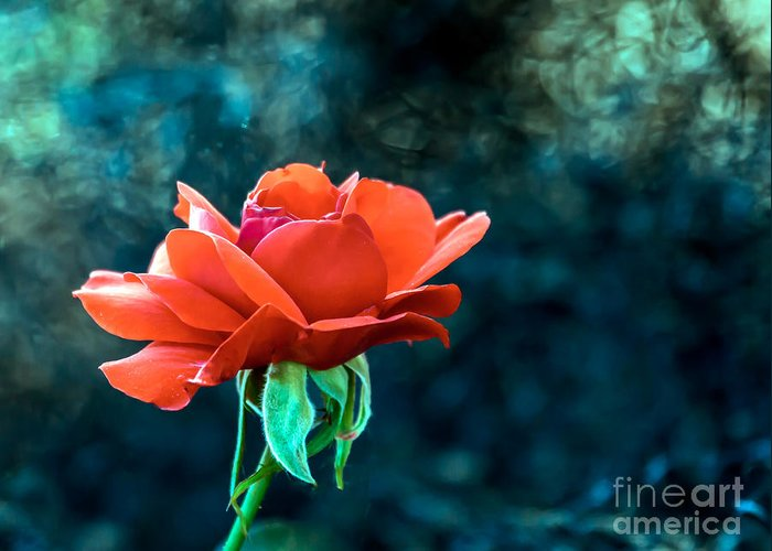 Rose Greeting Card featuring the photograph Beautiful Red Rose by Robert Bales