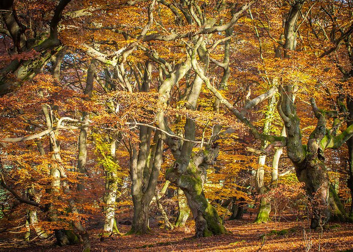 Alter Greeting Card featuring the photograph Beech Tree Group In Autumn Light by Martin Liebermann