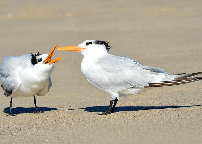Common Tern Greeting Card featuring the photograph Bending Mom's Ear by Fraida Gutovich