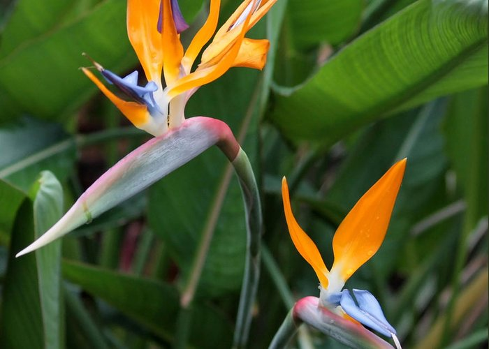 Bird Of Paradise Greeting Card featuring the photograph Bird Of Paradise by Carol Groenen