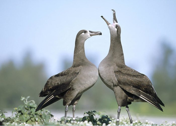 Feb0514 Greeting Card featuring the photograph Black-footed Albatross Courtship Dance by Tui De Roy