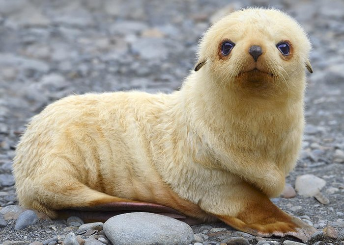 Antarctic Fur Seal Greeting Card featuring the photograph Blondie by Tony Beck