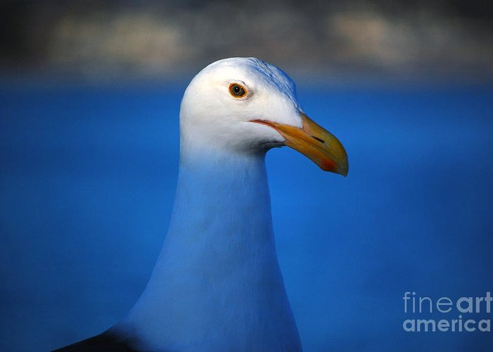Santa Cruz Greeting Card featuring the photograph Blue Seagull by Debra Thompson