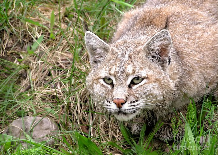 Lynx Greeting Card featuring the photograph Bobcat Stalking by Sylvie Bouchard
