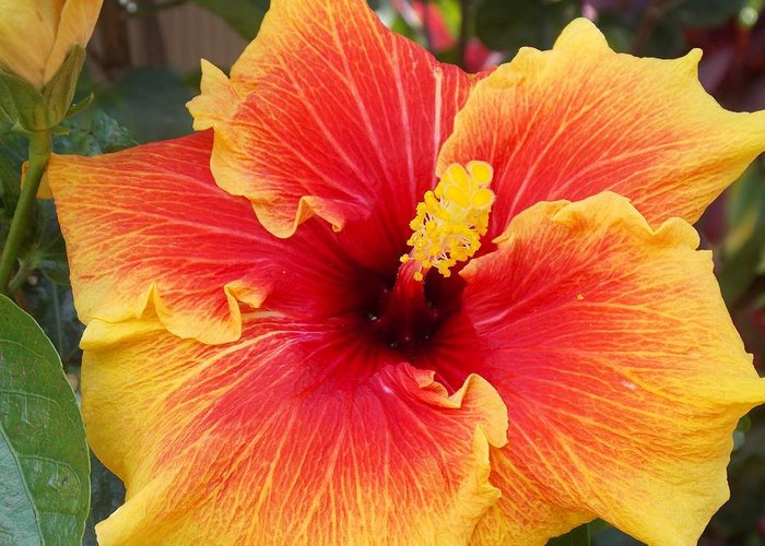 Hawaii Greeting Card featuring the photograph Bold And Beautiful by Mindy Sue Werth