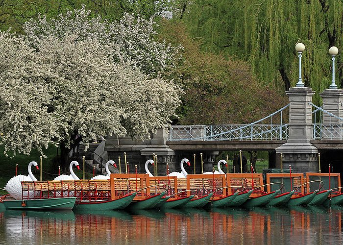 Swan Greeting Card featuring the photograph Boston Swan Boats by Juergen Roth